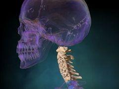A nyaki gerinc anatómiája
